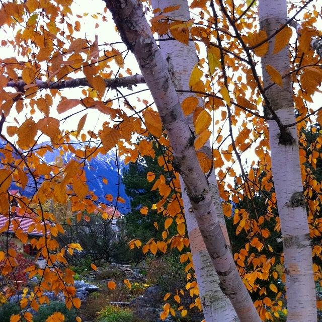 Herbstliche Birke mit gelben Blättern