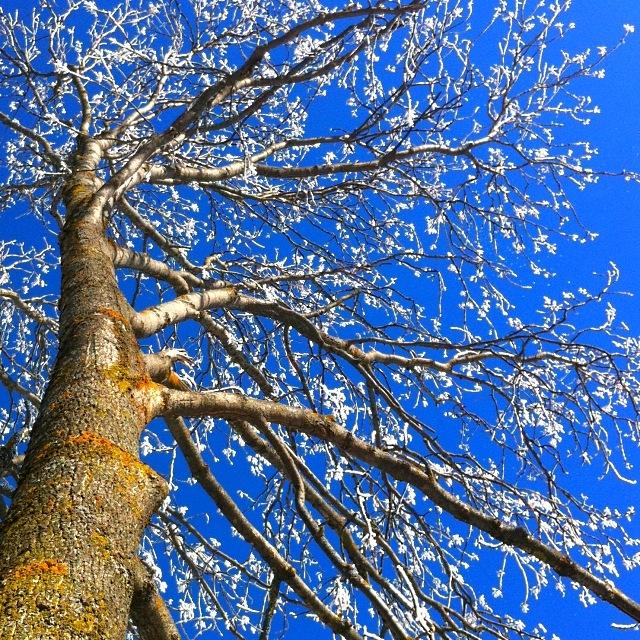 Baum mit Frost vor blauem Himmel