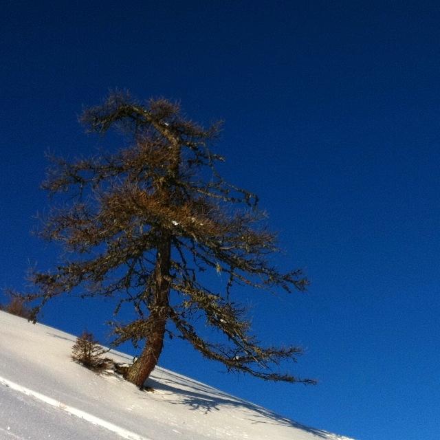 Knorriger alter Baum im Schnee vor blauem Himmel